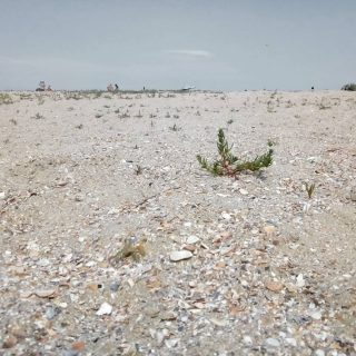 New sand, new life.   #blacksea🌊 #blacksea #mareaneagra #sand #plants #green #sandy #dry #seaside #newsand #newlife #new #life #summer #photography #photooftheday #coastalerosion #coastal #marine #nautical #beach #beachcombing #beachfinds