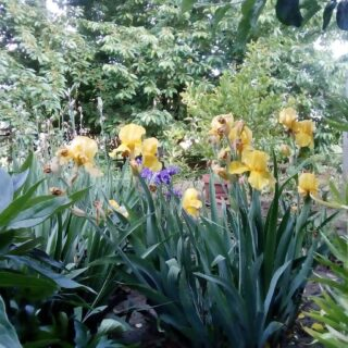 Living in the country is an underappreciated luxury, but if it weren't for the lockdown, I wouldn't have been aware of this.   #yellow #yellowiris #iris #irises #irisesofinstagram #irisesinbloom #garden #gardening #livinginthecountry #lockdown #covid #covid_19